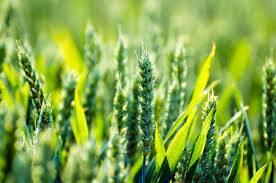 اسیدبوریک در کشاورزی